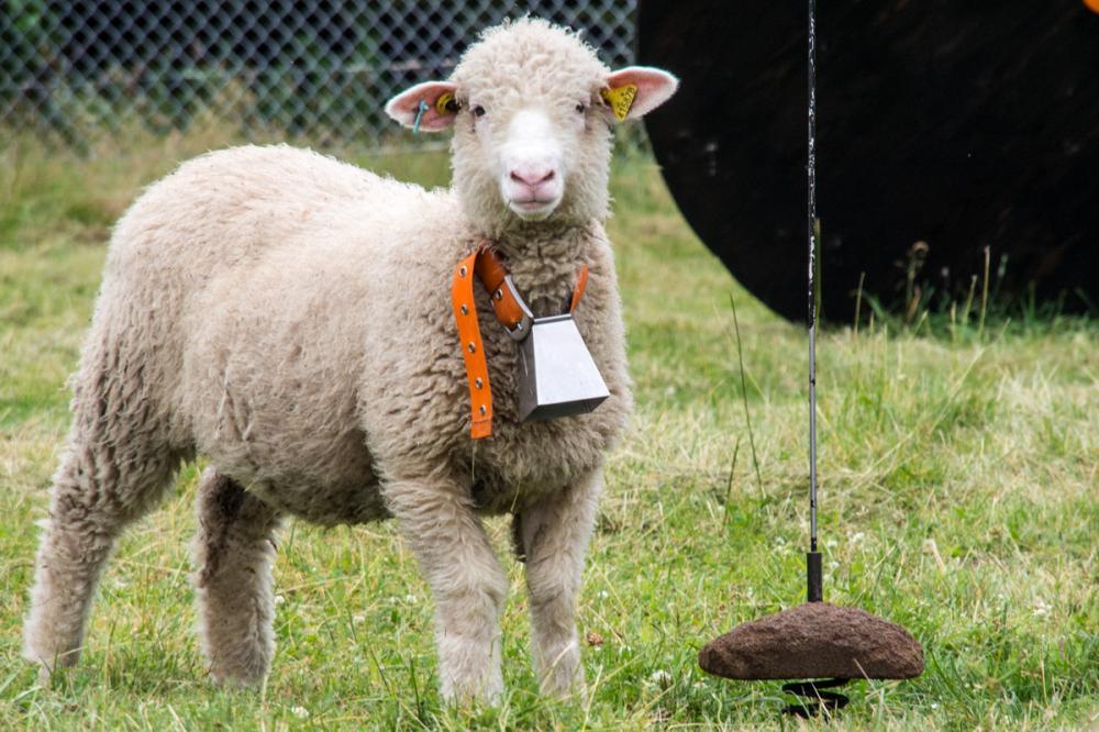 moutondeuses